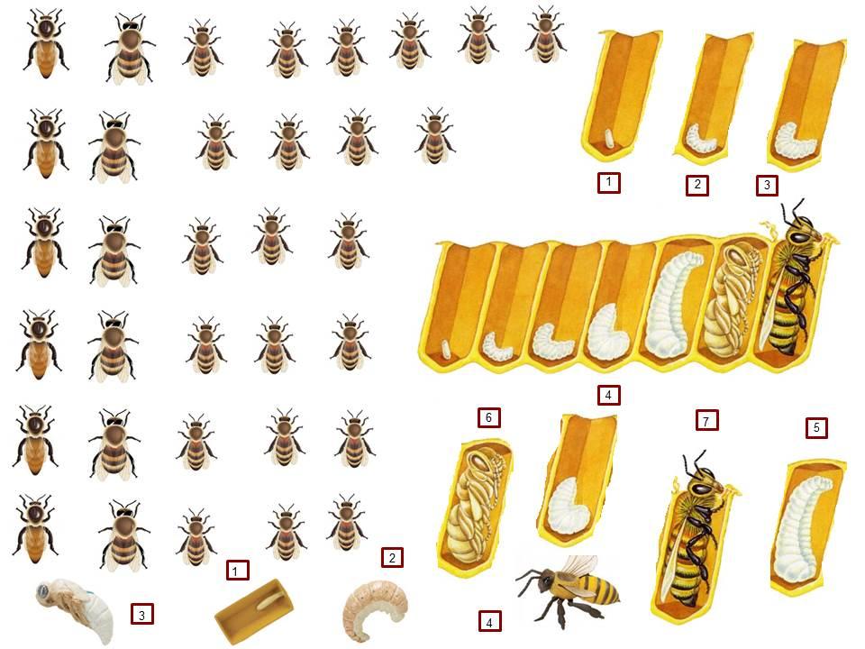 Les abeilles l 39 apprenti sage for Abeilles dans la maison